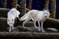 Arctic Wolves Holiday Card